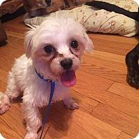 Adopt A Pet :: Snowbelle - ROME, NY