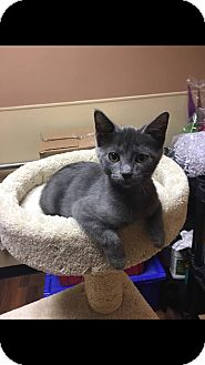 Domestic Shorthair Cat for adoption in Georgetown, Delaware - Endora