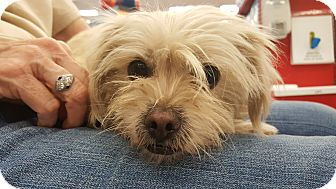 Terrier (Unknown Type, Small) Mix Dog for adoption in San Dimas, California - Sugar