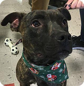 Boxer/Pit Bull Terrier Mix Dog for adoption in Schaumburg, Illinois - Gunner (2)-adoption pending