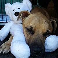 Mastiff/Labrador Retriever Mix Dog for adoption in Girard, Georgia - Colt
