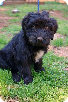 Poodle (Standard)/Labrador Retriever Mix Puppy for adoption in Newark, Delaware - Tristan