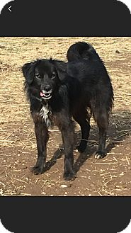 Border Collie Mix Dog for adoption in ST LOUIS, Missouri - Pepper