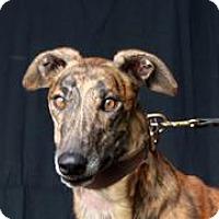 Greyhound Dog for adoption in Douglasville, Georgia - PJ Chick Magnet