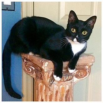 Domestic Shorthair Cat for adoption in Royal Palm Beach, Florida - Millie