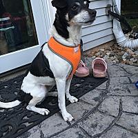Jack Russell Terrier/Rat Terrier Mix Dog for adoption in Schwenksville, Pennsylvania - Bella