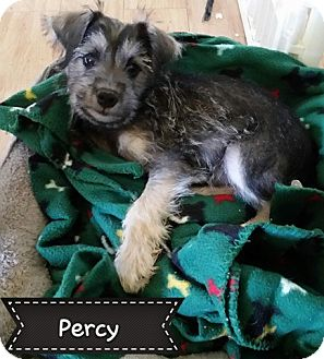 Chihuahua/Schnauzer (Miniature) Mix Puppy for adoption in Snyder, Texas - Percy
