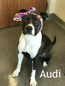 American Pit Bull Terrier Mix Dog for adoption in Valparaiso, Indiana - Audi