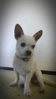Chihuahua Mix Dog for adoption in Fairfax, Virginia - Bill