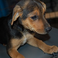 Adopt A Pet :: ARABELLA - Lebanon, TN