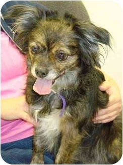 Pekingese/Chihuahua Mix Dog for adoption in Lake Odessa, Michigan - Dutchess