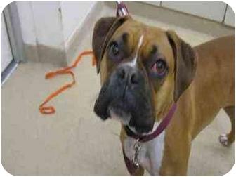 Boxer Mix Dog for adoption in Davis, California - Aurora