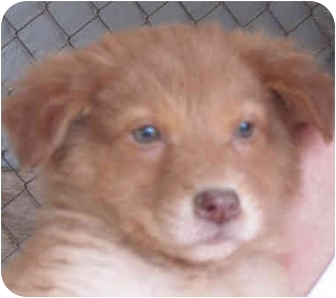 Golden Retriever/Australian Shepherd Mix Puppy for adoption in Poway, California - Lil' Red Dog