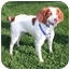 Photo 2 - Brittany Dog for adoption in Buffalo, New York - Brittany Dogs - Adopted but