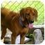 Photo 2 - Redbone Coonhound Dog for adoption in Buffalo, New York - Roxy