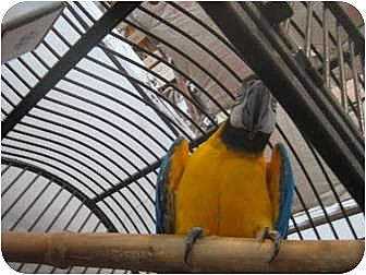 Macaw for adoption in Blairstown, New Jersey - Beasley