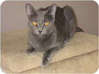Russian Blue Cat for adoption in Huffman, Texas - Bella