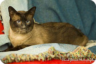 Siamese Cat for adoption in Anchorage, Alaska - Frank