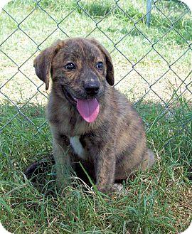 Australian Shepherd/Labrador Retriever Mix Puppy for adoption in Waller, Texas - Prairie