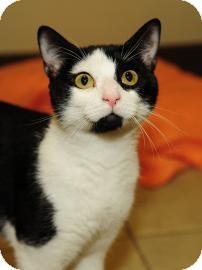 Domestic Shorthair Cat for adoption in Columbus, Georgia - Oreo 1F1F