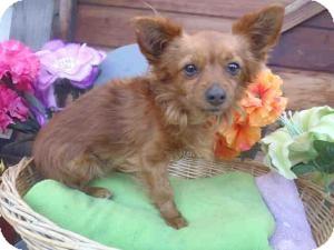 Chihuahua/Pomeranian Mix Dog for adoption in Encino, California - Paul