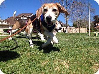 Beagle Dog for adoption in Valley Village, California - Davey