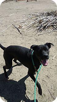 American Staffordshire Terrier/Labrador Retriever Mix Dog for adoption in Valley Village, California - SHADOW
