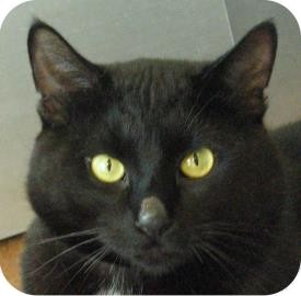 Domestic Shorthair Cat for adoption in Ithaca, New York - Gonzo 14779-c