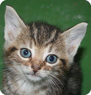 Domestic Shorthair Kitten for adoption in Ledyard, Connecticut - Tiger Kitten #3