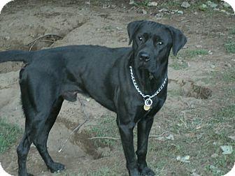 Labrador Retriever Mix Dog for adoption in Toledo, Ohio - REGGIE