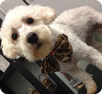Poodle (Miniature)/Terrier (Unknown Type, Small) Mix Puppy for adoption in South Gate, California - Lady