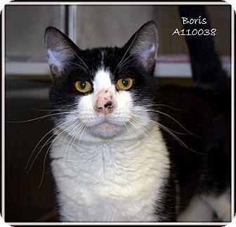 Domestic Shorthair Cat for adoption in Yuba City, California - Boris
