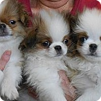 Adopt A Pet :: JAPANESE CHIN PUPS- Bryant, AR - Little Rock, AR