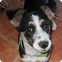Adopt A Pet :: Cookie - dewey, AZ