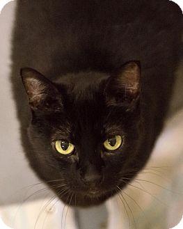 Domestic Shorthair Cat for adoption in Alden, Iowa - Minnie