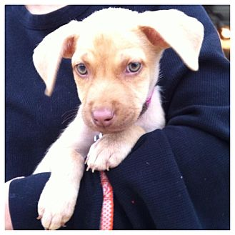 Labrador Retriever Mix Puppy for adoption in Memphis, Tennessee - TATUM