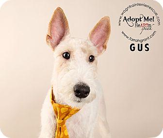 Wirehaired Fox Terrier Dog for adoption in Omaha, Nebraska - Gus-Pending Adoption
