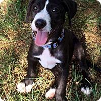 Adopt A Pet :: Denali - Sinking Spring, PA
