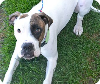 Boxer/Pit Bull Terrier Mix Dog for adoption in Fruit Heights, Utah - Hank