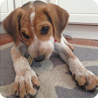 Hound (Unknown Type) Mix Puppy for adoption in Ardmore, Pennsylvania - Porter