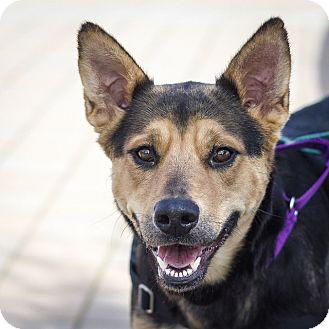 German Shepherd Dog/Australian Shepherd Mix Dog for adoption in Berkeley, California - Tigre