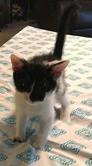 Domestic Shorthair Kitten for adoption in Attalla, Alabama - Gale