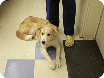 Border Collie/Golden Retriever Mix Dog for adoption in Cantonment, Florida - Cidney