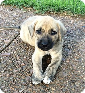 Boxer/Labrador Retriever Mix Puppy for adoption in Hagerstown, Maryland - Shiner