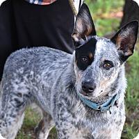 Adopt A Pet :: Blu - Texico, IL