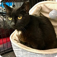 Domestic Shorthair Cat for adoption in Philadelphia, Pennsylvania - PEBBLES!