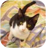 Domestic Shorthair Kitten for adoption in Walker, Michigan - Beretta