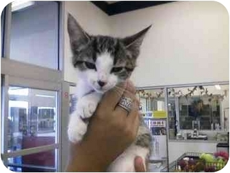 Domestic Shorthair Kitten for adoption in Tracy, California - Iris-ADOPTED