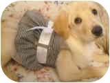 Golden Retriever/Labrador Retriever Mix Puppy for adoption in Stafford Springs, Connecticut - Gracie