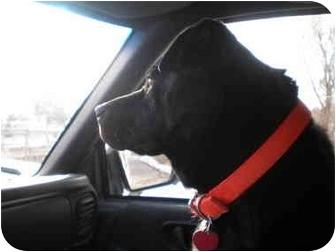 Labrador Retriever Mix Dog for adoption in Wamego, Kansas - Louie
